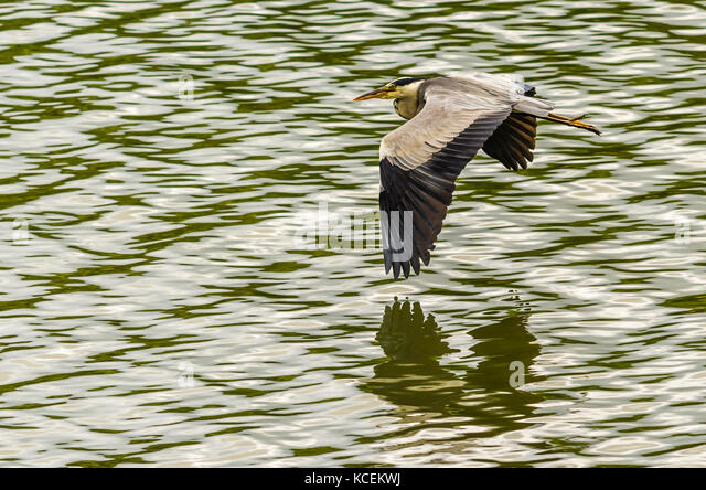 Heron caught flying over the river at Audierne, Brittany, France - Stock Image
