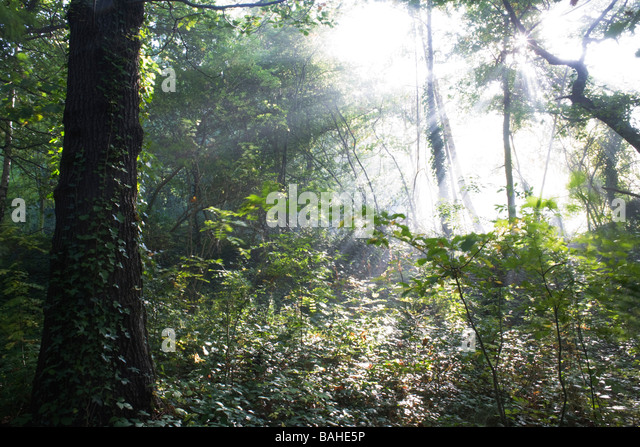 Summer sunlight filters through the old boughs and green foliage of oak and beech trees in the ancient forest of - Stock Image
