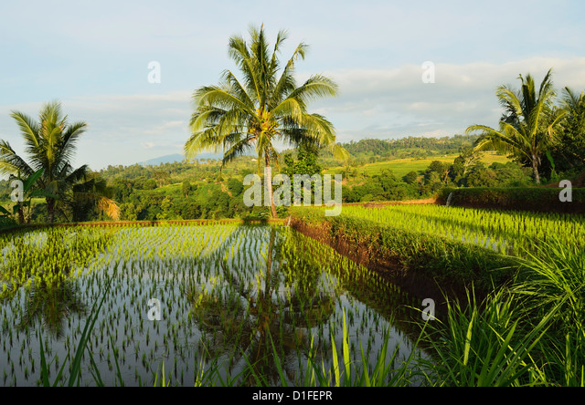 Rice fields, Senaru, Lombok, Indonesia, Southeast Asia, Asia - Stock Image