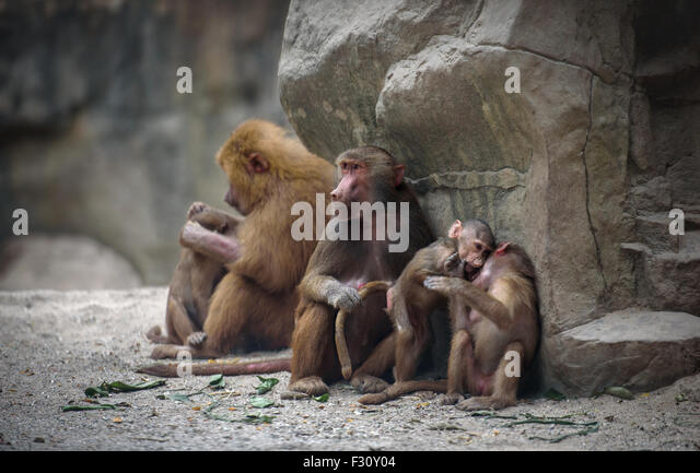Family of Hamadryas baboon monkeys with its babies at rest - Stock Image