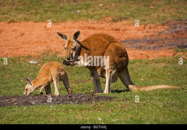 red kangaroo with joey / Macropus rufus - Stock Image