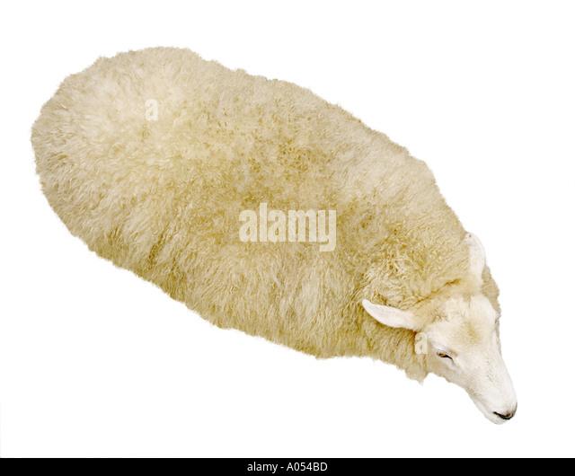 Sheep - Stock Image