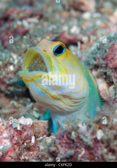 Male Yellowheaded Jawfish, Opistognathus aurifrons, incubating clutch of eggs in his mouth in a coral reef in Palm - Stock Image