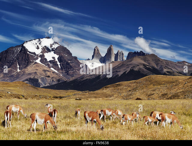 Herd of guanaco in Torres del Paine National Park, Patagonia, Chile - Stock Image