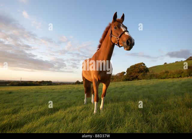 Chestnut Horse - Stock Image