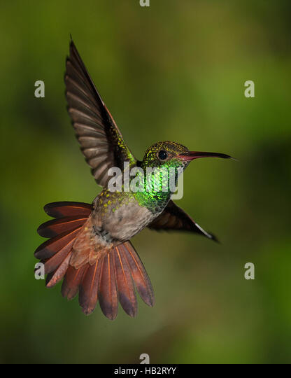 Rufous-tailed Hummingbird (Amazilia tzacati) in flight - Stock Image