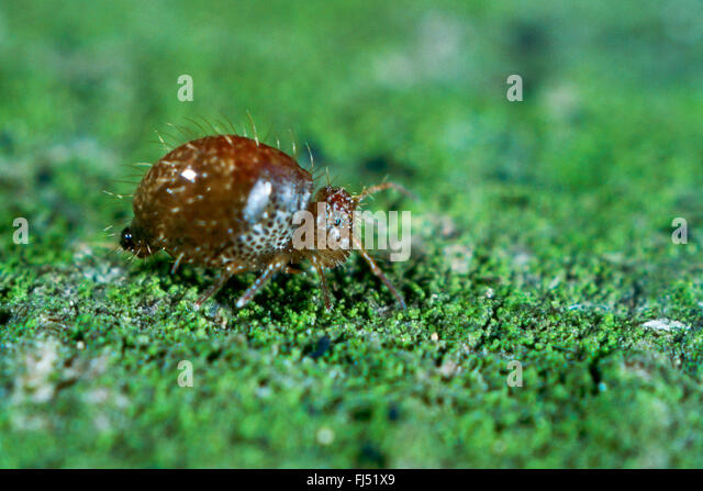 Springtail (Allacma fusca), insect of the year 2016, Germany - Stock-Bilder