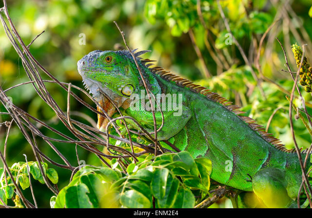 Lizard lick plant