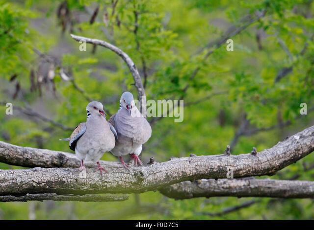 Turtle Dove (Streptopelia turtur) pair, Pusztaszer, Hungary, May 2008 - Stock Image