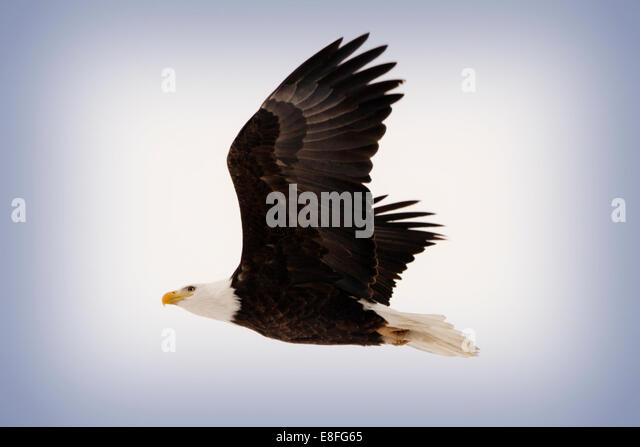 Sweden, Bald Eagle in Flight - Stock Image