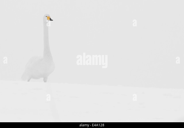 Germany, Schleswig-Holstein, Whooper swan, Cygnus cygnus, standing in the snow - Stock-Bilder