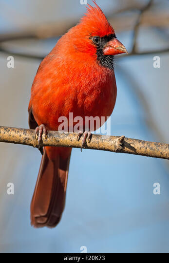 Male Northern Cardinal on a branch - Stock-Bilder