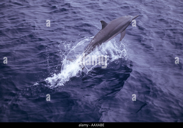 leaping spinner dolphin - Stock Image