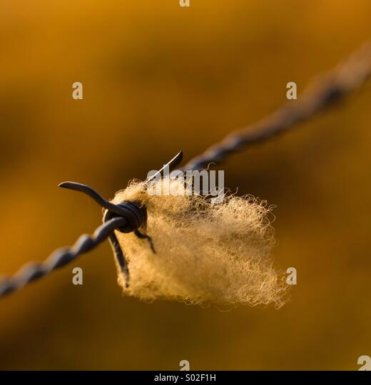 Wool (Ermelo, South Africa) - Stock Image