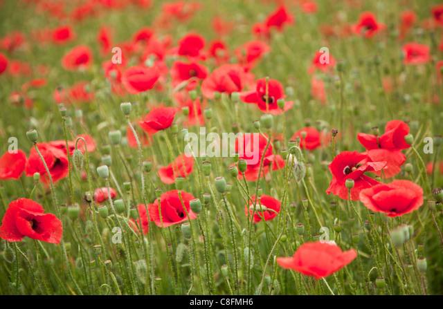wild poppy flowers on - photo #42