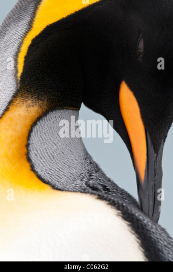 King Penguin preening, Salisbury Plain, South Georgia, South Atlantic. - Stock Image