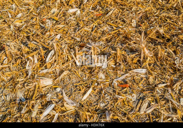 Residue from Sweet Corn harvest - France. - Stock Image