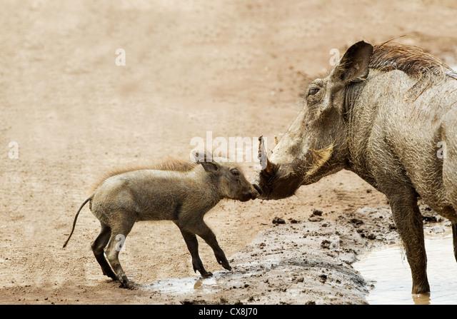 Baby Warthog (Phacochoerus Africanus) Kissing Mother At Ngorongoro Crater; Tanzania - Stock-Bilder
