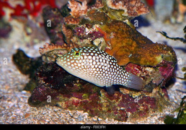 Spotted Puffer (Canthigaster jactator), swimming, Hawaii - Stock Image