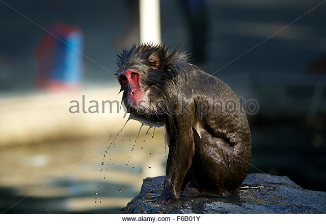 Snow Monkey (Japanese Macaque) troop - Stock Image
