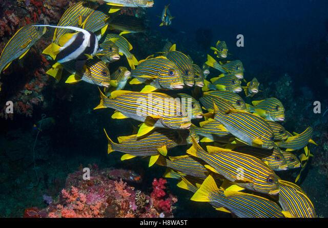 Ribbon sweetlips [Plectorhinchus polytaenia].  Raja Ampat, West Papua, Indonesia. - Stock Image