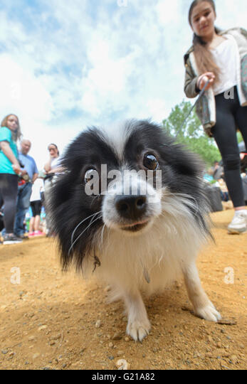 Alexandra Palace, London, UK. 22nd May 2016. The RSPCA Big Walkies, fund raising event in Alexandra Palace, North - Stock Image