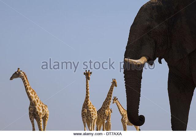 An elephant Loxodonta africana and four giraffes Giraffa camelopardalis in Etosha National Park Namibia - Stock Image