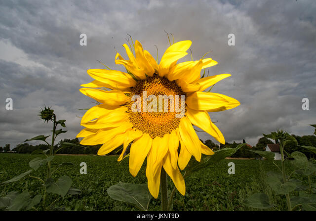 A bright yellow sunflower can be seen against a cloudy sky near Plattling, Germany, 24 July 2017. Photo: Armin Weigel/dpa - Stock Image
