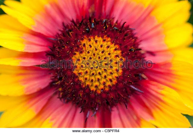 Gaillardia Mesa Bright Bicolor . Gaillardia x grandiflora . Blanket Flower - Stock Image