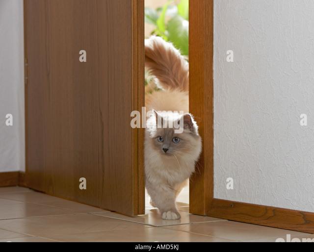 Sacred cat of Burma at door - Stock-Bilder