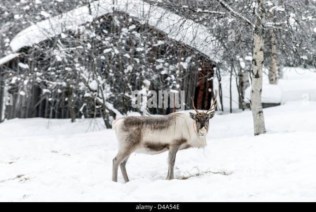 Reindeer in Swedish Lapland Sweden Scandinavia - Stock Image