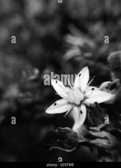 Close up of flowering stone crop in monochrome - Stock Image
