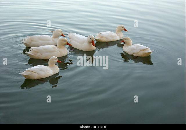 Ducks, duck, white ducks, male, female, pond, pond ripples, water, water ripples, 6 ducks, six ducks, serene, nature, - Stock Image