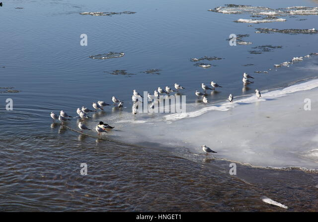 Seagulls sitting on ice at the River Danube at Deggendorf in cold winter 2017 with floating ice ,  Bavaria Germany, - Stock Image