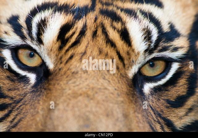 Tiger Bengal - Panthera tigris - close portrait - Stock Image