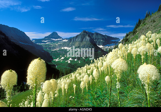 Bear Grass wildflower Glacier National Park Montana - Stock-Bilder