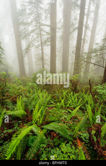 Forest along Damnation Creek Trail in Del Norte Coast Redwoods State park - Stock Image