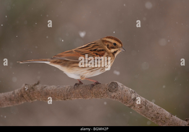 Reed Bunting (Emberiza Schoeniclus) adult female perched on branch in falling snow, winter, UK. - Stock Image