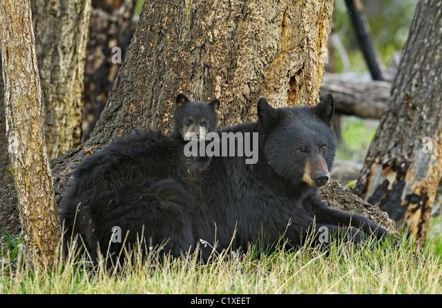 Cub Aboard mother Bear - Stock Image