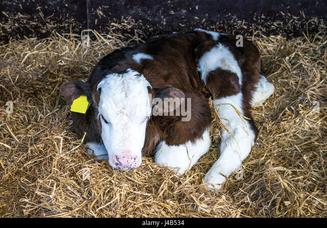Hereford calf with a yellow ear mark relaxing in a pile of hay in a stable - Stock Image
