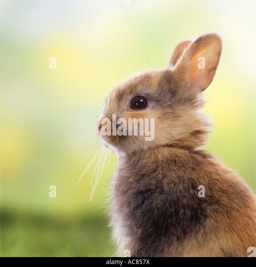 young pygmy rabbit - portrait - Stock Image