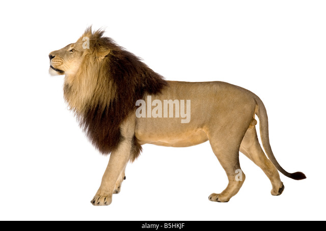 Lion in front of a white background - Stock Image