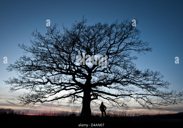 Old Oak tree at dusk in Råde kommune, Østfold fylke, Norway. - Stock Image