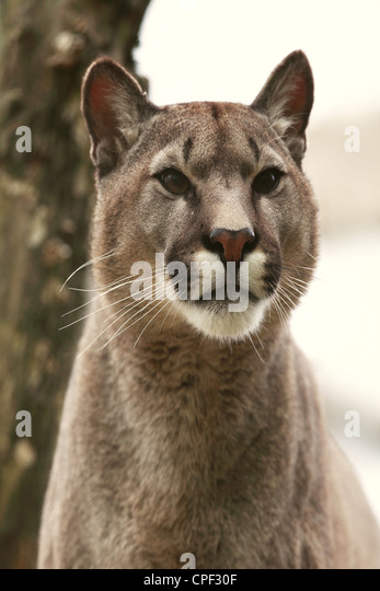 Puma is a genus in Felidae that contains the cougar, also known as the puma, among other names and the jaguarundi - Stock Image