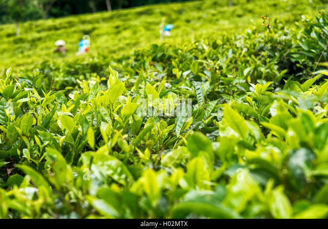People picking green tea on plantation in Java,  Indonesia - Stock Image
