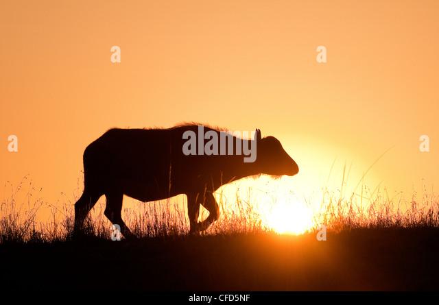 African buffalo (Syncerus caffer) cow at sunrise, Masai Mara Reserve, Kenya, East Africa - Stock Image