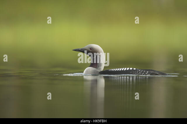 Black-throated Diver, Gavia arctica, adult on water, low angle, Finland, summer - Stock-Bilder