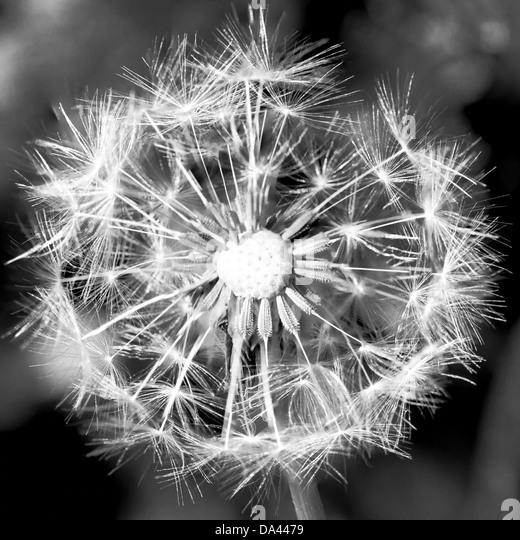 Dandelion Seedhead [Taraxacum officinale] - Stock Image