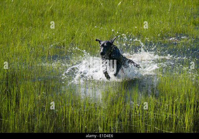 A black labrador dog bounding through shallow water. - Stock Image