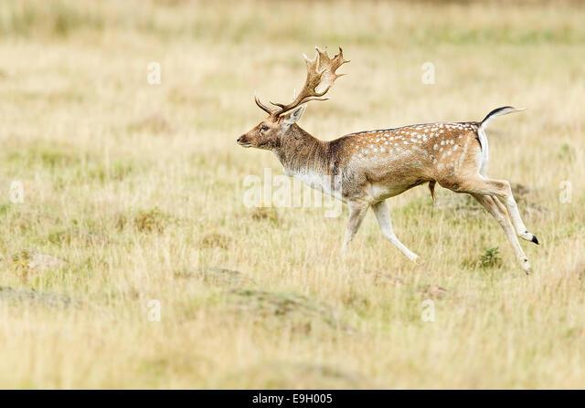 Fallow deer (Dama dama) during the annual rut - Stock Image